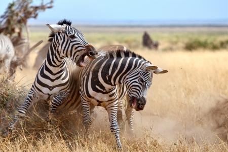 Zebras in der Masai Mara während der Great Migration