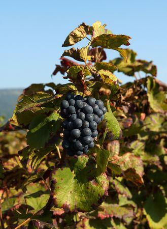 merlot: a vineyard of Merlot grapes in September