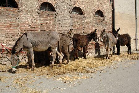 pv: Arena Po (Pv),Lombardy,Italy,some donkeys Stock Photo