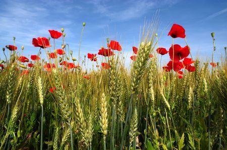 Cazzago San Martín (Bs), amapolas Franciacorta, Lombardía (Italia), en un campo de trigo  Foto de archivo - 5542085