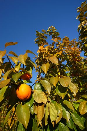 persimmon tree: Provaglio (Bs),Franciacorta,Lombardy,Italy,a persimmon tree in November