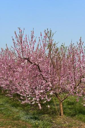 Algunos árboles de durazno en flor Foto de archivo - 12979926