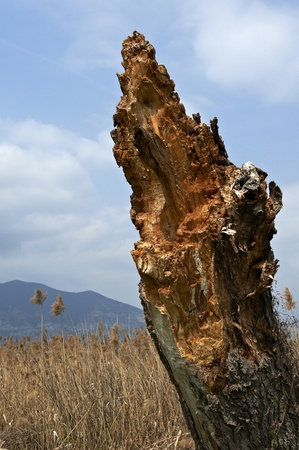 bogs: Provaglio  Bs ,Franciacorta,Lombardy,Italy,a trunk of a tree struck by lightning at the National Reserve of Peat Bogs of lake Iseo