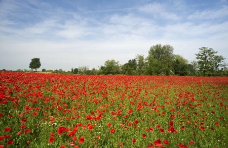 daniele: San Daniele Po (Cr) Italy , a field of poppies in the floodplain of the River Po