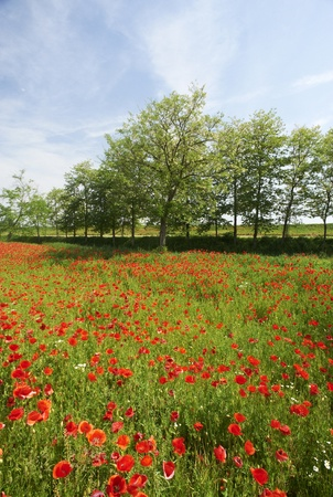 daniele: San Daniele Po (Cr) Italy , a field of poppies in the floodplain of the River Po