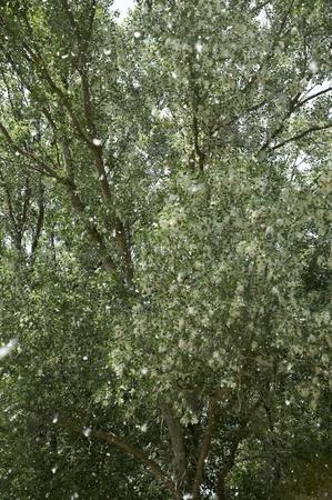 la difusi�n de los �lamos, la dispersi�n de semillas Foto de archivo - 13631803