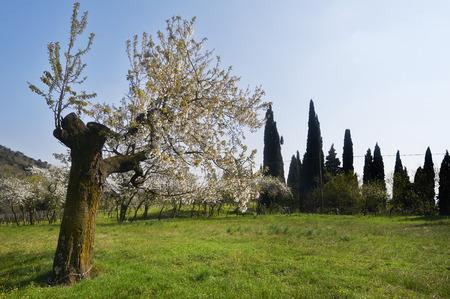 albero: Provaglio dIseo (Bs),Franciacorta, un ciliegio fiorito