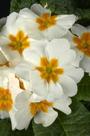 primroses: some white primroses