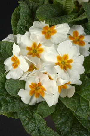 cowslip: some white primroses