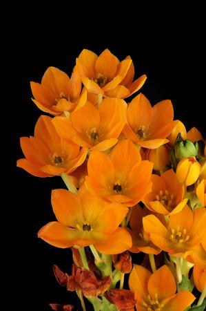 dubium: some flowers of Ornithogalum Dubium on black background