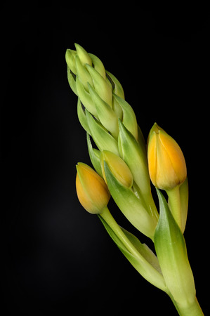 ornithogalum: some buds of Ornithogalum Dubium on black background