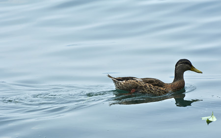palmiped: Lake of Iseo (Bs), Italy, a duck swimming Stock Photo