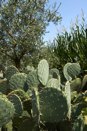 prickly: Travagliato (Bs), Italy, some  prickly pears Stock Photo
