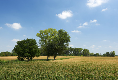floodplain: Castelvetro Piacentino (Pc), Italy, a view o the floodplain of the Po River with cornfields Stock Photo