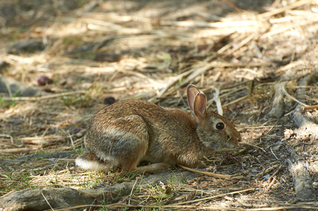 bogs: Provaglio (Bs), Franciacorta,Italy ,National Reserve of the Peat Bogs of the Iseo Lake, a wild hare