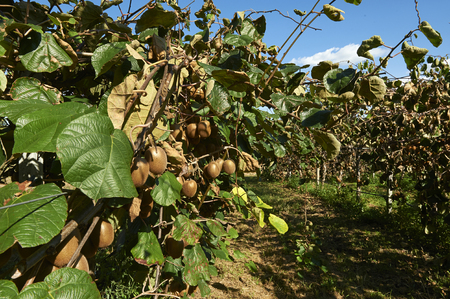 mn: Monzambano (Mn), Italy, cultivation of kiwi