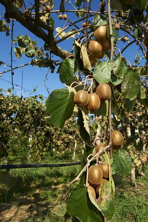 ailment: Monzambano (Mn), Italy, cultivation of kiwi