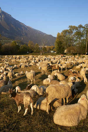 bleating: Costa Volpino (Bg), Italy, a flock of sheep
