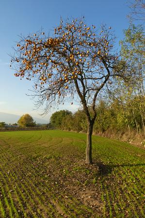 persimmon tree: Monterotondo (Bs), Franciacorta, Italy , a persimmon tree Stock Photo