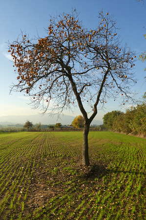 persimmon tree: Monterotondo (Bs), Franciacorta, Italy , a persimmon tree Stock Photo