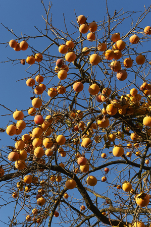 persimmon tree: some persimmon on a tree