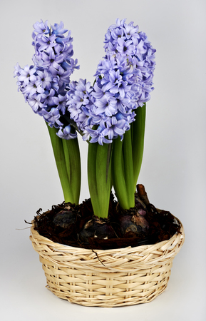 hyacinthus: a jar with some hyacinths on white background