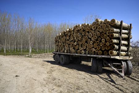sone: Torricella (Pr), Italy, sone poplar logs cut