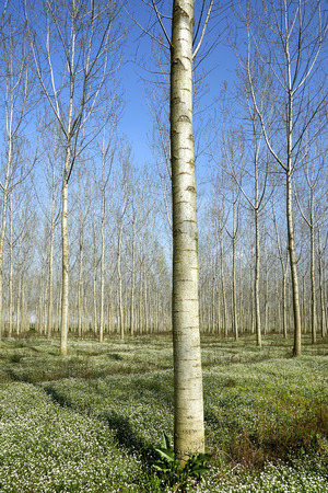 floodplain: Gussola (Cr), Italy, a poplar growe in the floodplain of River Po Stock Photo