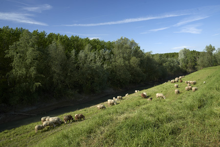 ovine: Mezzani (Re), Italy, a flock of sheep grazing in the floodplain of the River Po