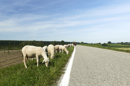 floodplain: Sustinente (Mn), Italy, a flock of sheep grazing in the floodplain of the River Po