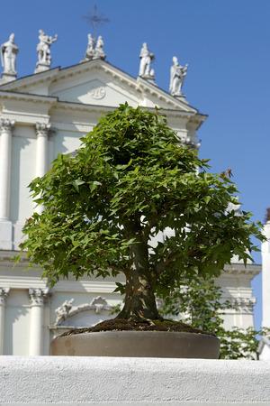 acer: an acer bonsai