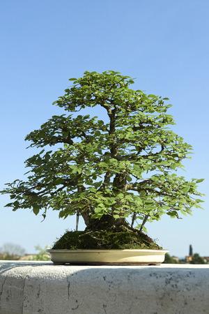 elm: an elm tree bonsai
