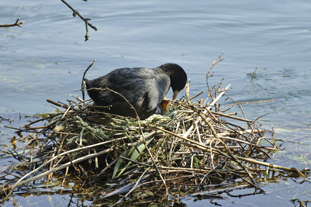 coot: Brivio  (Lc), Italy, a coot in a nest during the hatching of eggs, on the River Adda