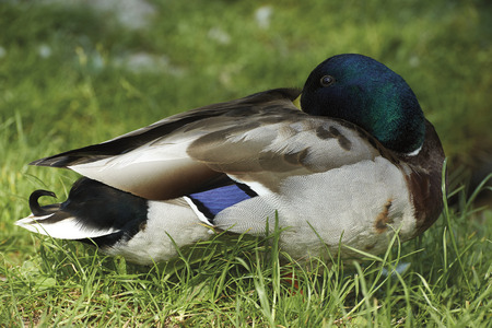 palmiped: Imbersago (Lc), Italy, a mallard on the banks of the river Adda Stock Photo