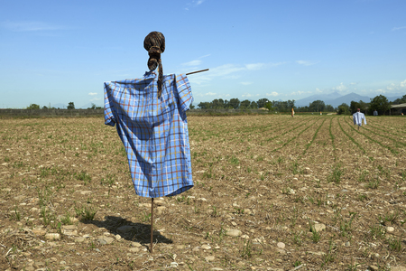 sows: Pontoglio (Bs), Italy, a scarecrow in a corn field