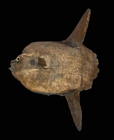 adriatico: Cesenatico (Fg), Museo della Marineria, un modello di un pesce mola mola, l odierno pesce luna Stock Photo