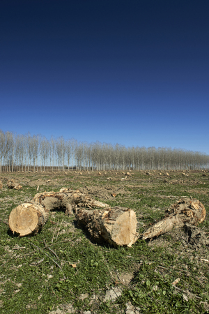 daniele: San Daniele Po (Cr), Italy, deforestation of a poplar grove in the floodplain of the river Po