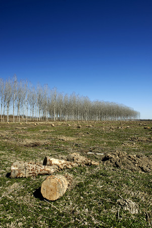 deforestacion: San Daniele Po (Cr), Italy, deforestation of a poplar grove in the floodplain of the river Po