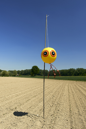 po: Zerbio (Pc), Italy, a curious scarecrow in a cornfield in the floodplain of the river Po