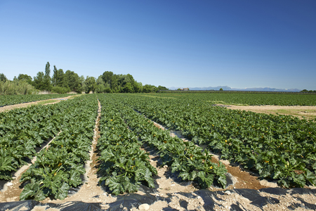 mn: Pozzolo (Mn), Italy,a field cultivated with pumpkins,in Maj