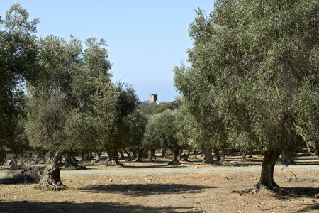 regional: Alberese (Gr), Italy, some olive tree on the hills of the Uccellina in the Regional Park of Maremma