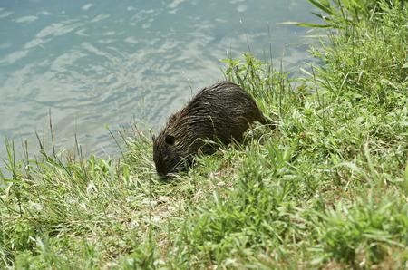 Cernusco sul Naviglio (Mi),Italy,  a nutria rat in the Martesana Canal