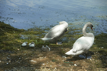 Garlate (Lc),Italy, some swans on the Garlate Lake Stock Photo