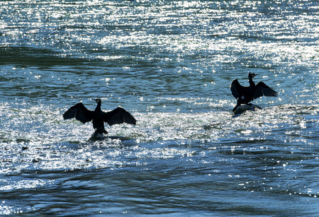 Monzanbano (Mn),Italy,  two cormorants on the river Mincio Stock Photo