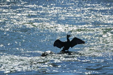 Monzanbano (Mn),Italy,  a cormorant on the river Mincio Stock Photo