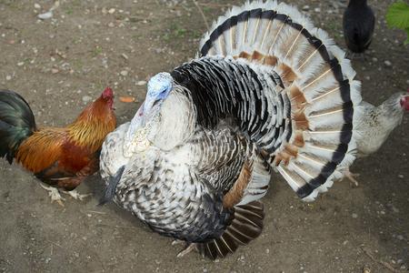 A turkey in a hen house Foto de archivo - 101518644