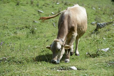 Val d'Agola (Tn), Italy, a cow grazing Foto de archivo - 112600243
