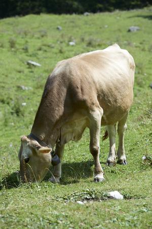 Val d'Agola (Tn), Italy, a cow grazing Foto de archivo - 112600246