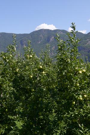 Val d'Adige (Bz), Italy,apple cultivation Foto de archivo - 112600266