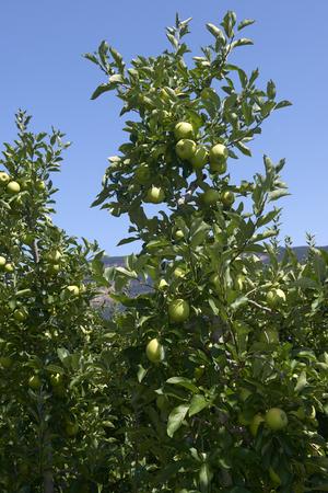 Val d'Adige (Bz), Italy,apple cultivation Foto de archivo - 112600268